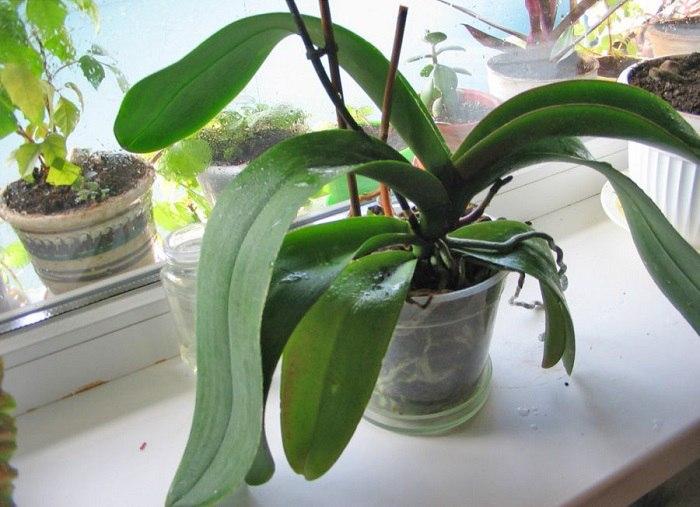 Домашнее удобрение для орхидей. Кому ни посоветую — все в восторге.