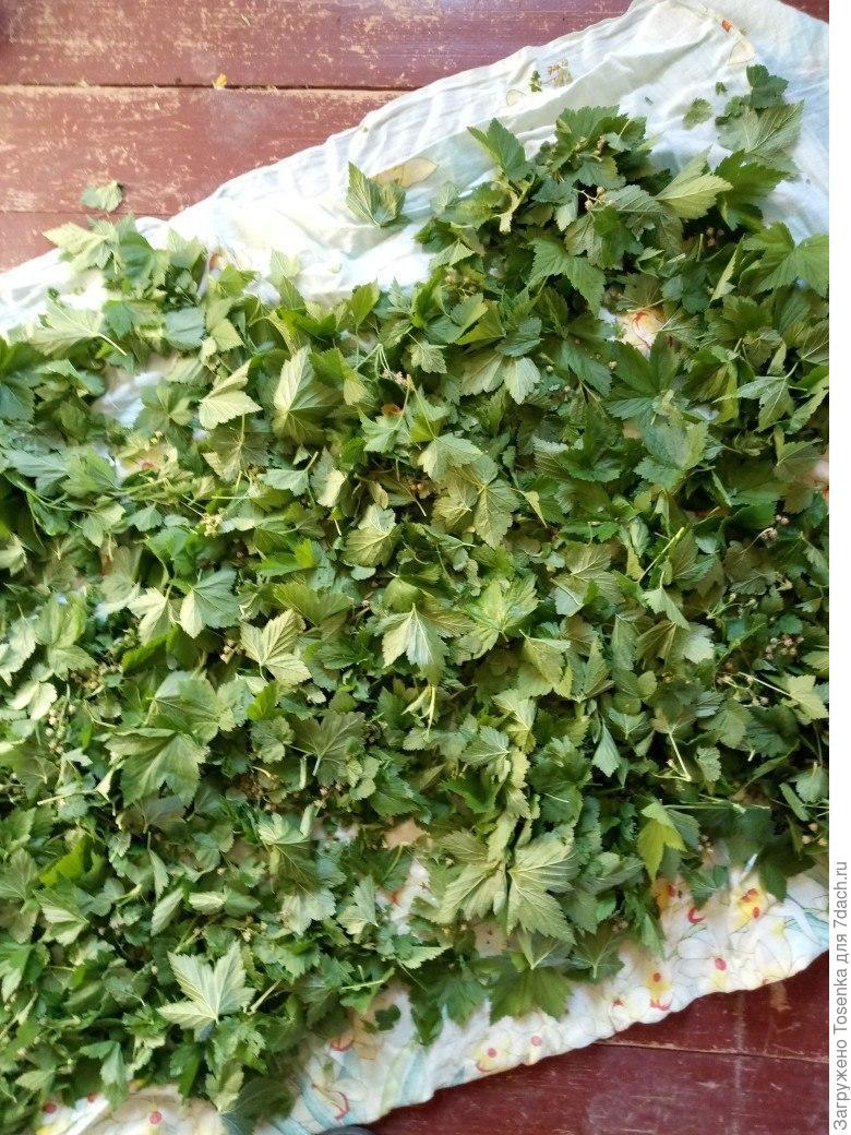 Ферментированный чай из листьев черной смородины