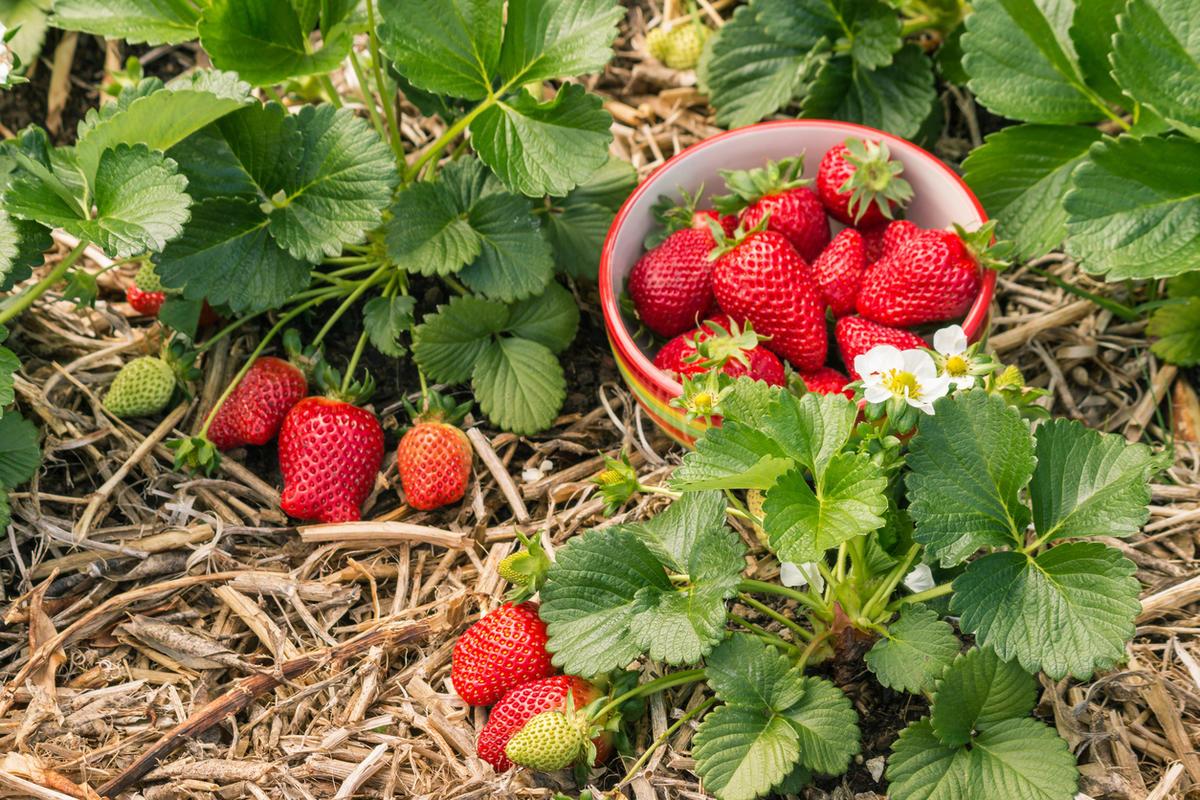 5 шагов к богатому урожаю земляники садовой — это надо просто запомнить