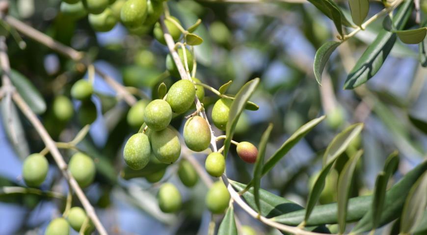 Оливковое масло в кулинарии, медицине, косметике