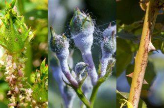 Вот как бороться с надоевшей тлей, чтобы не навредить растениям: хитрости опытных садовников