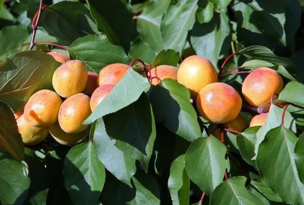 Абрикос — дерево со сладкими плодами: Советы по выращиванию