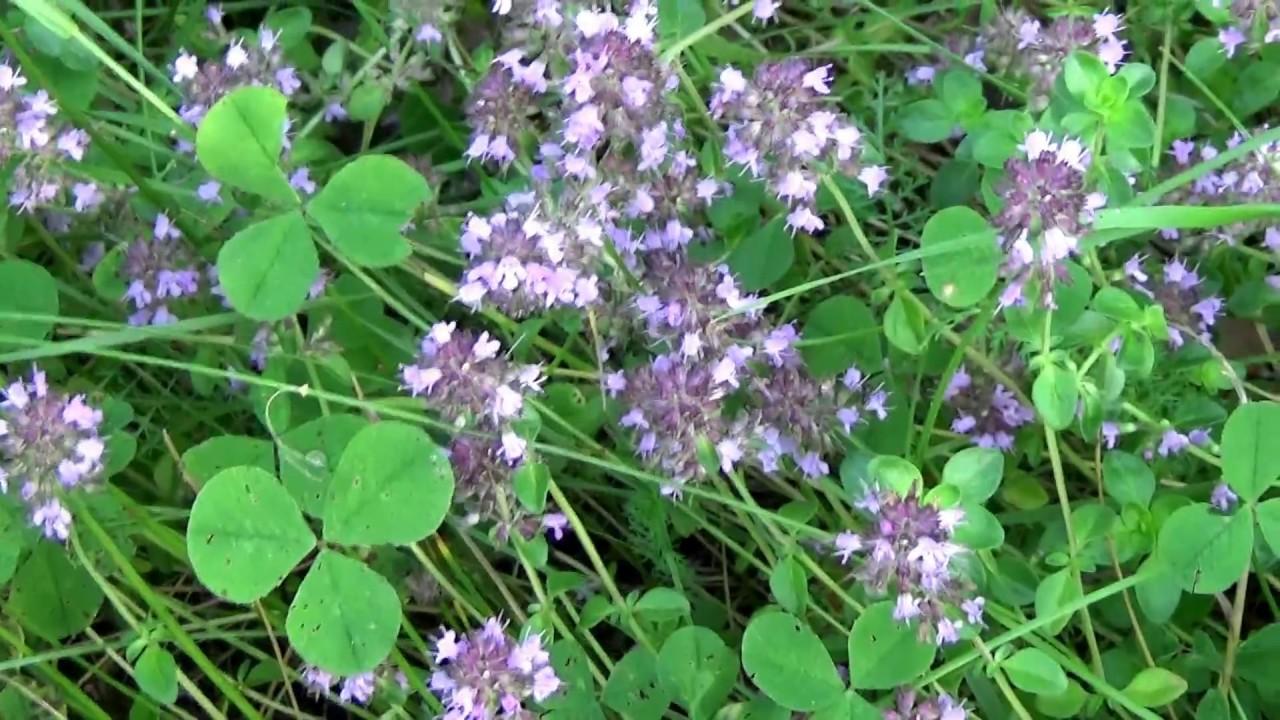 Бесценный дар Матушки-Природы: Травка, которая лечит сотни болезней