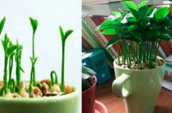 Вот как вырастить лимон в чашке — чтобы дома всегда идеально пахло