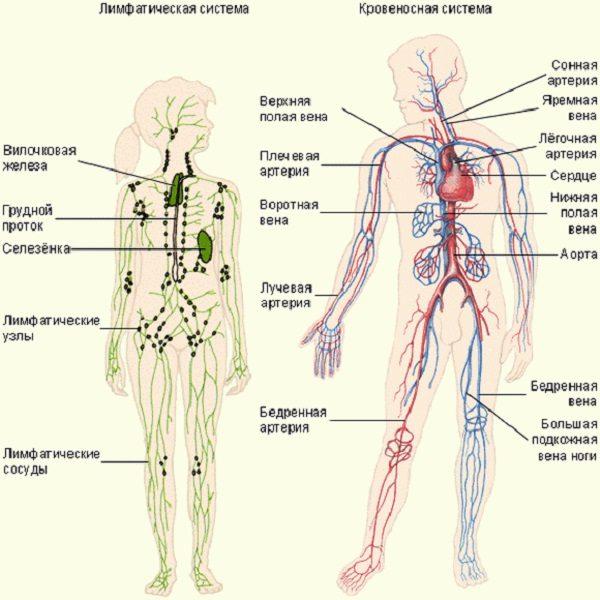 Интересные факты о лимфатической системе