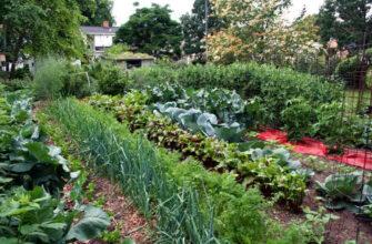 Какие овощи лучше посадить рядом, а какие лучше не стоит. Совместимость овощей на огороде.