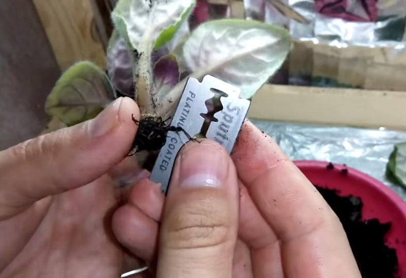 Если у фиалки вянут листья, этот способ спасет ее даже в самый последний момент